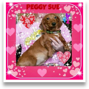 Peggy Sue - CKC Red Dapple Smooth Coat Female