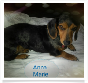 Anna Marie - CKC and APRI Dapple Smooth Coat Miniature Dachshund Female
