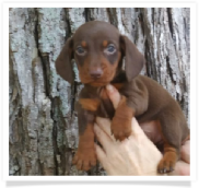 Autumn - Solid Chocolate and Tan Smooth Coat Female Miniature Dachshund Puppy