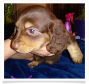 Chase Jr. - AKC Chocolate and Cream Male Miniature Dachshund Puppy