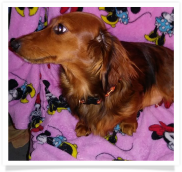 Mandy - AKC Longhair Red Female Miniature Dachshund