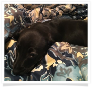 Max - Solid Black Smoothcoat Male Miniature Dachshund Puppy