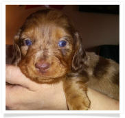 Andy - Anna's Chocolate and Tan Dapple Male Miniature Dachshund Puppy