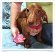 Popeye - Red Dapple Smooth Coat Male Miniature Dachshund Puppy