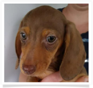 Ava - Chocolate and Tan Dapple Smoothcoat Female Miniature Dachshund Puppy