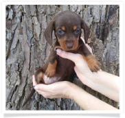 Delilah - Chocolate and Tan Smooth Coat Female Miniature Dachshund Puppy