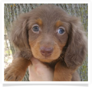 Red - AKC Chocolate and Tan Longhair Male with light dappling Miniature Dachshund Puppy
