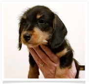 Sarah - Black and Tan Softwire Female Miniature Dachshund Puppy