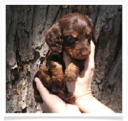 Mocha - Solid Chocolate and Tan Longhair Male Miniature Dachshund Puppy