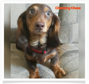 Charming Chase - AKC and CKC Chocolate and Tan Long Hair Male Miniature Dachshund